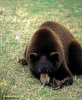 MA01-144z  Black Bear - brown phase - Ursus americanus