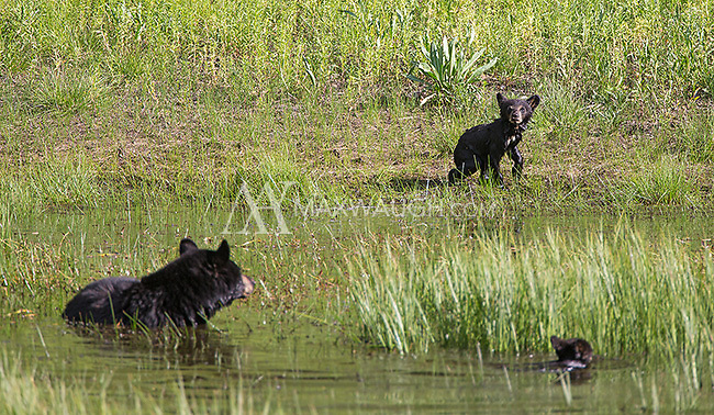A black bear sow with two new cubs was seen frequently in the Phantom Lake area throughout the spring.
