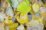 Close up from above of fallen yellow leaves in autumn of Common Lime tree, Suffolk, England