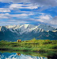 Digital composite: (sky added) female grizzly bear basks in the morning sun near a small tundra pond in Denali National Park, Alaska, snow covered Alaska mountain range in the distance.