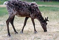 DEER FAMILY (CERVIDAE)<br /> Caribou Grazing<br /> Rangifer tarandus, Yukon