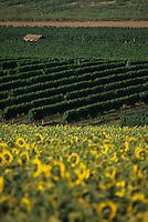 Europe/France/Aquitaine/47/Lot-et-Garonne/Env de Duras : Le vignoble Côtes de Duras