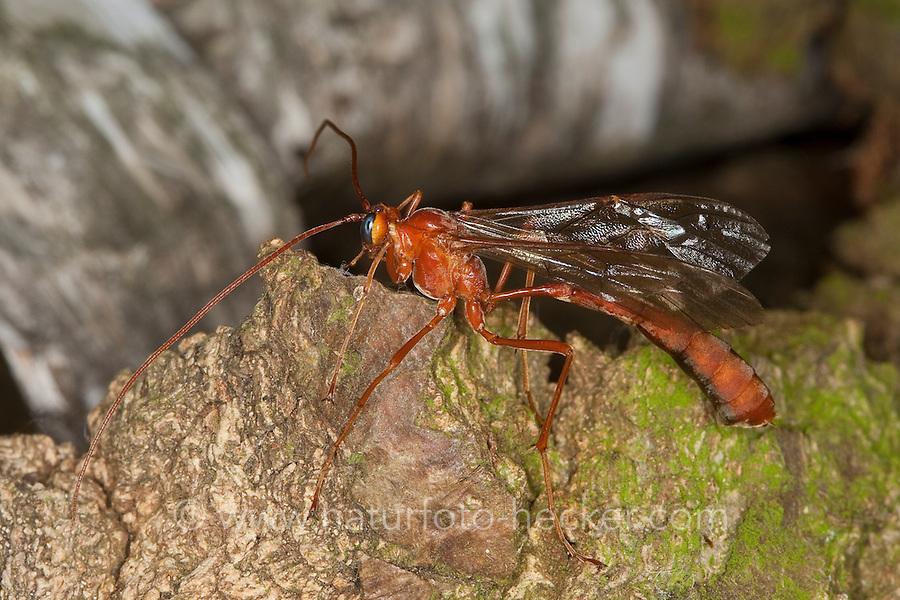 Schlupfwespe, Sichelwespe, Ophion spec., Wasp Ophion, Schlupfwespen, Ichneumonidae, ichneumon flies, ichneumons