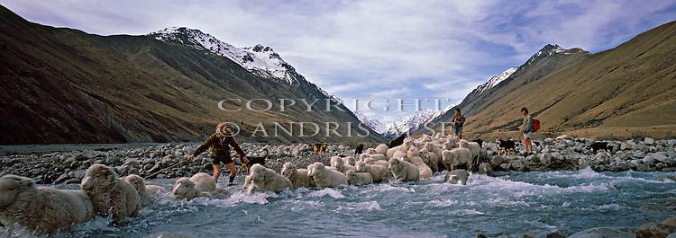 Mustering Merino sheep. Crossing the Jollie River. Braemar Station. Mackenzie Country. New Zealand.