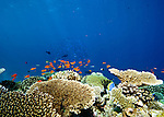 hard coral colony, plate coral reef