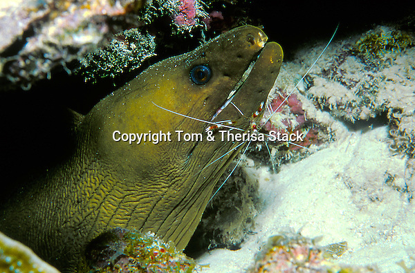 Symbiosis, Green Moray Eel being cleaned by Banded Coral Cleaner Shrimp