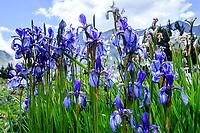 France, Hautes-Alpes (05), Villar-d'Arène, jardin alpin du Lautaret,  iris de Sibérie (Iris siberica)