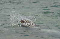 Hawaiian monk seal, Neomonachus schauinslandi, 2.5 year old male playing with green sea turtle or honu, Chelonia mydas, Pu'uhonua o Honaunau ( City of Refuge ) National Historical Park, Kona, Hawaii ( Big Island ) Hawaiian Islands, USA, ( Central Pacific Ocean )