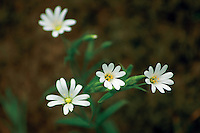 Greater Stitchwort (Stellaria Holostea), Milton Lockhart