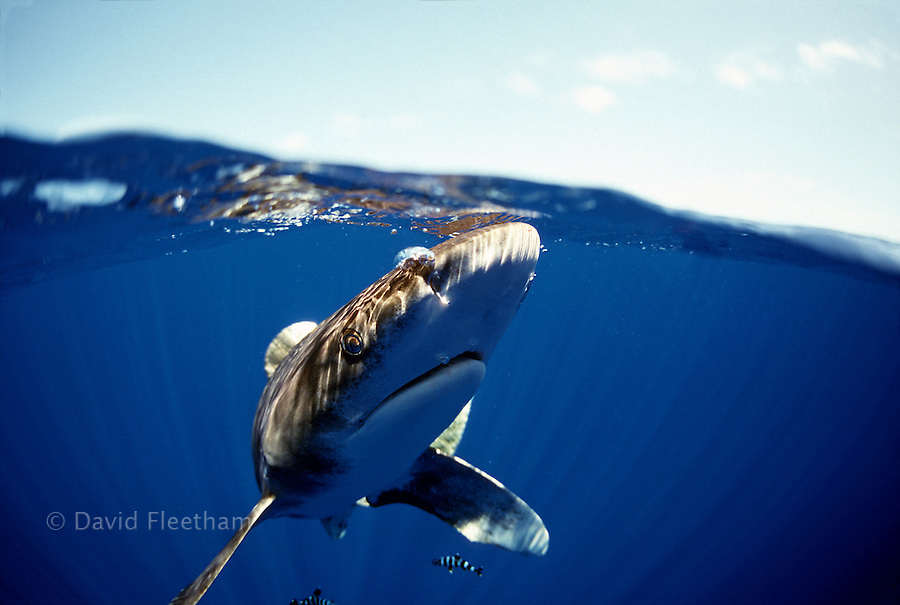 Split image of an oceanic whitetip shark, Carcharhinus longimanus, photographed several miles off the Big Island in open ocean.  Hawaii.