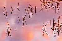 Reeds at dawn on Crow (Kakagi) Lake in Unorganized Kenora District and the township of Sioux Narrows-Nestor Falls<br />