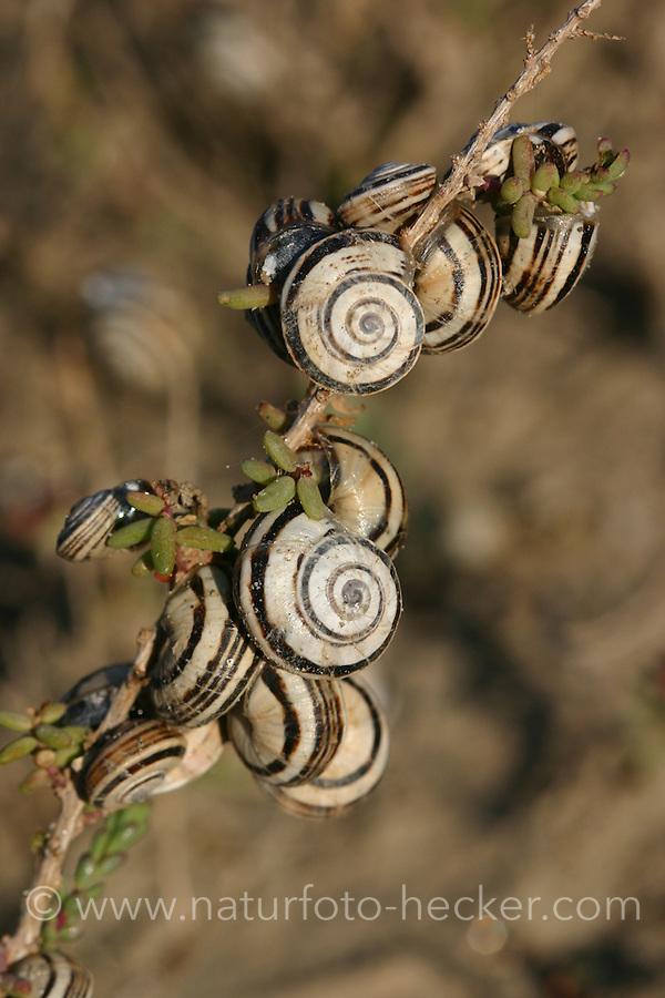 Mittelmeer-Heideschnecke, Schneckenansammlung, Hitzeschutz, Cernuella virgata, Helicella virgata, Helicella variabilis, Vineyard snail, White snail, Striped snail, Zoned snailHeideschnecken