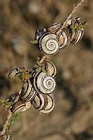 Mittelmeer-Heideschnecke, Schneckenansammlung, Hitzeschutz, Cernuella virgata, Helicella virgata, Helicella variabilis, Vineyard snail, White snail, Striped snail, Zoned snailHeideschnecken