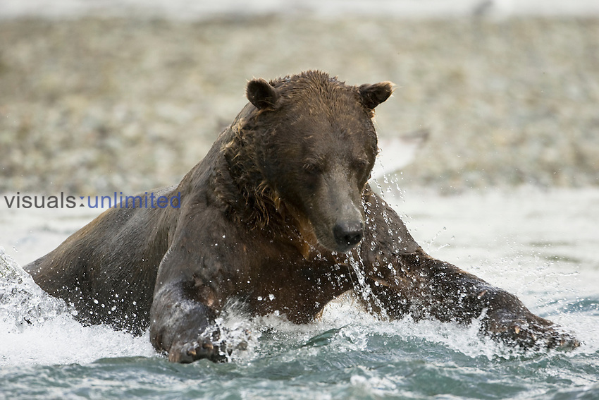 Brown Bear (Ursus arctos) in Katmai National Park running in a stream fishing for Pink  Salmon during the fall salmon migration in a coastal creek, Alaska, USA.