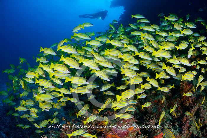 Lutjanus kasmira, Blaustreifen Schnapper und Taucher, Common Bluestripe snapper and scuba diver, Malediven, Indischer Ozean, Baa Atoll, Maldives, Indian Ocean, MR yes
