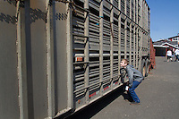Thomas Asplund, 12, from Milton, Wash. peers through metal grates of a trailer headed to  slaughterhouse at his sister's red angus cow that she raised for the Northwest Junior Livestock Show at the Washington State Spring Fair in Puyallup, Wash. Asplund plans on joining the FFA but says he has no desire to be a farmer. He helped his sister a lot raising the cow.