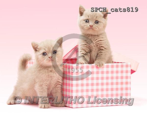 Xavier, ANIMALS, REALISTISCHE TIERE, ANIMALES REALISTICOS, cats, photos+++++,SPCHCATS819,#A#
