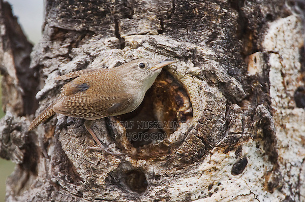 House Wren,Troglodytes aedon,adult at nesting cavity in aspen tree, Rocky Mountain National Park, Colorado, USA, June 2007