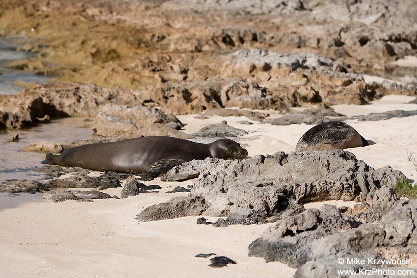 Hawaiian Monk Seals mother w/ pup on beach, Turtle Bay, Oahu