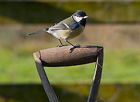 Great Tit (Parus major) on a wooden spade handle, Whitewell, Lancashire.