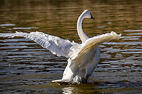 Thetrumpeter swan is the heaviest living bird native to North America, it is also the largest extant species ofwaterfowlwith a wingspan that may exceed 10ft.It is the American counterpart and a close relative of thewhooper swan ofEurasia, and even has been considered the same species by some authorities. By 1933, fewer than 70 wild trumpeters were known to exist, and extinction seemed imminent, until aerial surveys discovered a Pacific population of several thousand trumpeters around Alaska'sCopper River.Careful reintroductions by wildlife agencies and theTrumpeter Swan Societygradually restored the North American wild population to over 46,000 birds by 2010.
