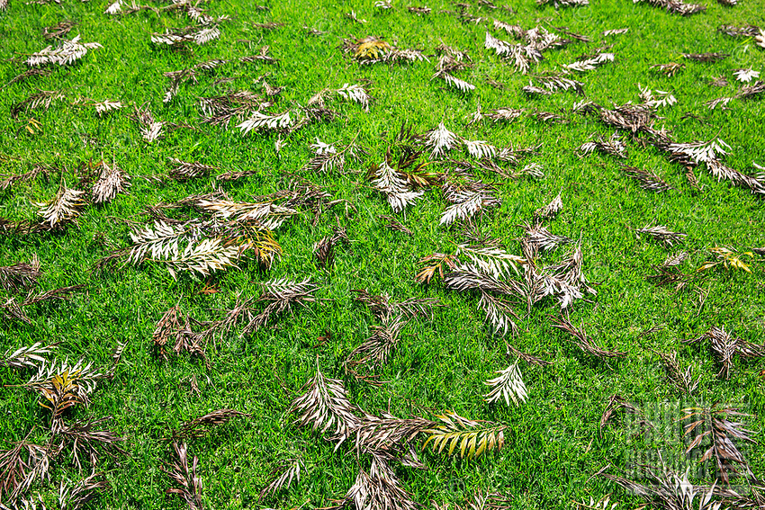 Dried and fallen leaves on the green grass in front of Koke'e Lodge in Koke'e State Park, Kaua'i.