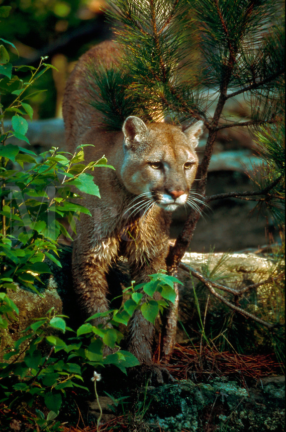 Portrait of cougar emerging from pine trees.