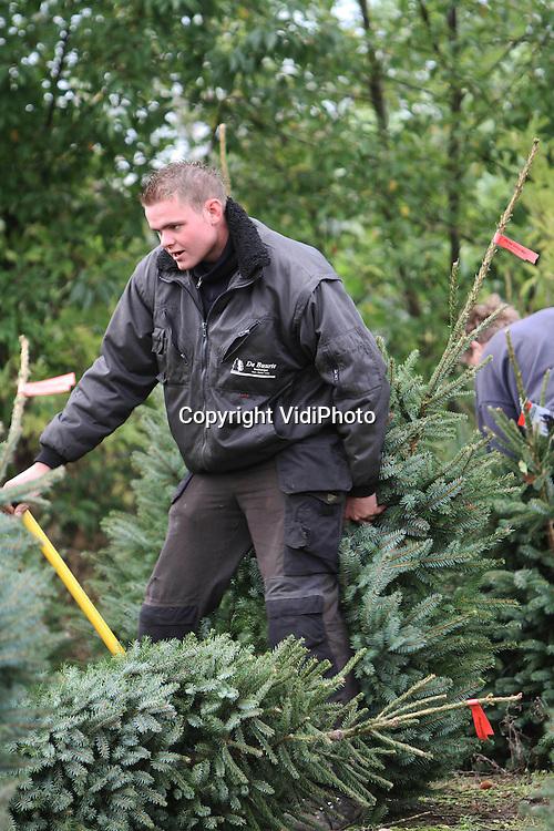 Foto: VidiPhoto..OENE - De echte Nederlandse kerstboom is weer helemaal terug van weggeweest. Dat meldt de grootste kerstbomenproducent van ons land, De Buurte kwekerijen in Oene. Dinsdag werden daar de eerste kerstbomen van het seizoen gestoken. Ruim 90 procent van de 90.000 kerstbomen van de Noord-Veluwse boomkweker is al verkocht. Volgens De Buurte is de straathandel van kerstbomen duidelijk op z'n retour en kiezen consumenten weer voor het gemak van de tuincentra, inclusief een kerstboom-in-de-pot. Omdat mensen door de economische crisis vaker thuis blijven en het tijdens Kerst gezellig willen maken, stijgt ook de verkoop van kerstbomen nog steeds..