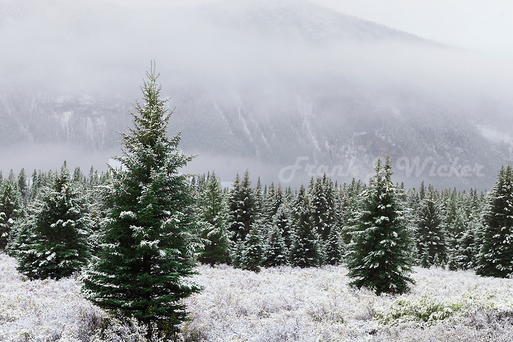 Field of Christmas trees in Banff National Park