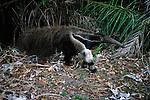 Giant Anteater, Pantanal, Brazil