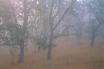 Oak trees in fog, Cachaqua Road, above Carmel Valley, Monterey County, California
