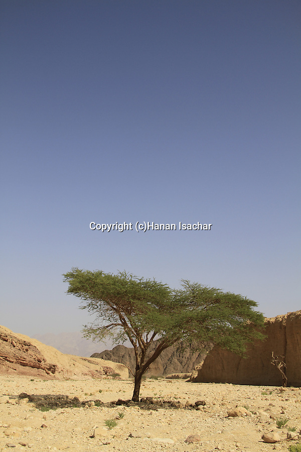 Israel, Eilat mountains, Acacia tree in Nahal Shehoret