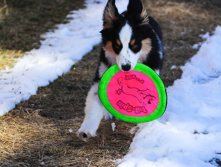 Puppy playing with Frisbee