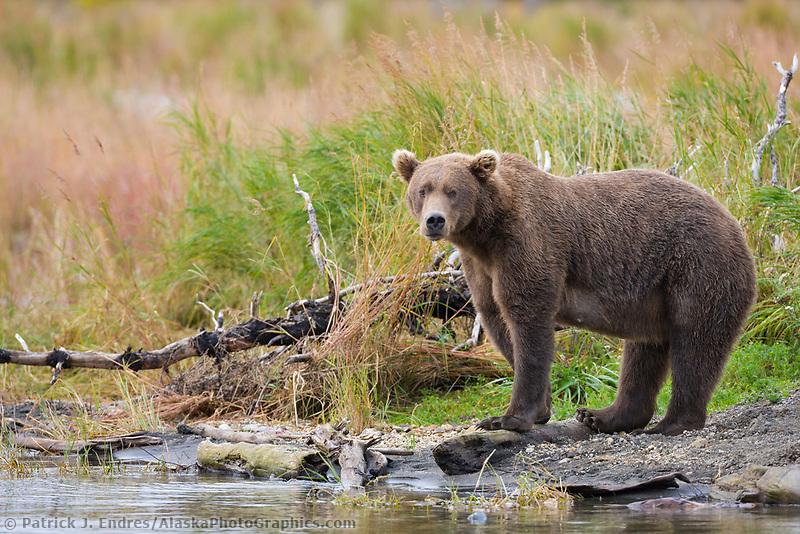 Brown bear, Katmai National Park, Alaska.