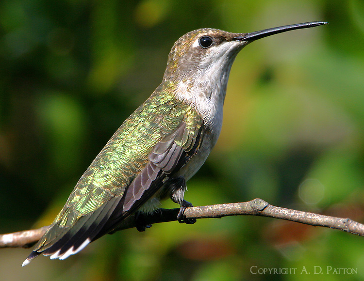 Adult female ruby-throated hummingbird