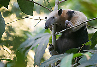 We had a couple nice photo ops with this handsome anteater species both in the Amazon and the Pantanal.