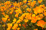 Escondido, California; a field of California Poppies on a hillside on a partly cloudy afternoon