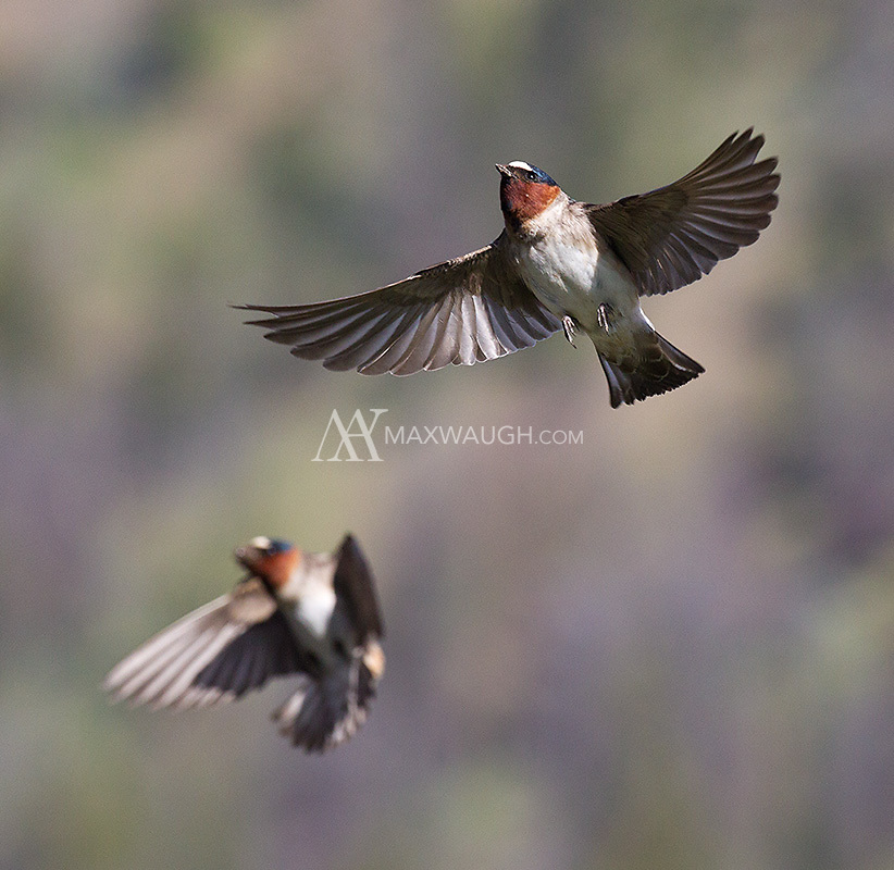 American cliff swallows return to their nests.