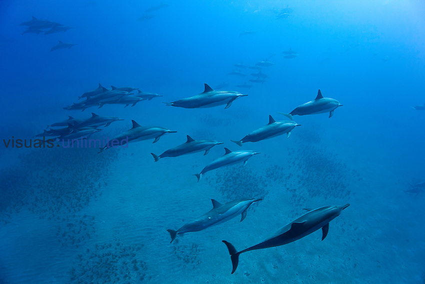 School of Spinner Dolphins (Stenella longirostris), Lanai, Hawaii, USA.