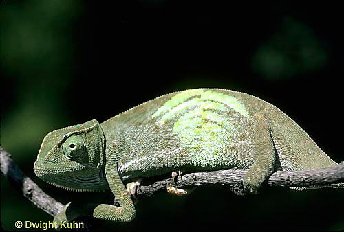 CH25-031z  African Chameleon - color change due to temperature difference, under leaf skin was cooler, see CH25-030z - Chameleo senegalensis