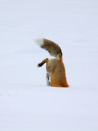 "A red fox dives under the snow to catch its prey in a technique called ""mousing"" at Yellowstone National Park, Wyoming"