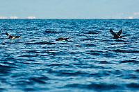 Europe/Provence-Alpes-Côte d'Azur/83/Var/Iles d'Hyères/Ile de Porquerolles: Vol de cormorans