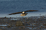 A bald eagle flying over the beach at Homer, Alaska.