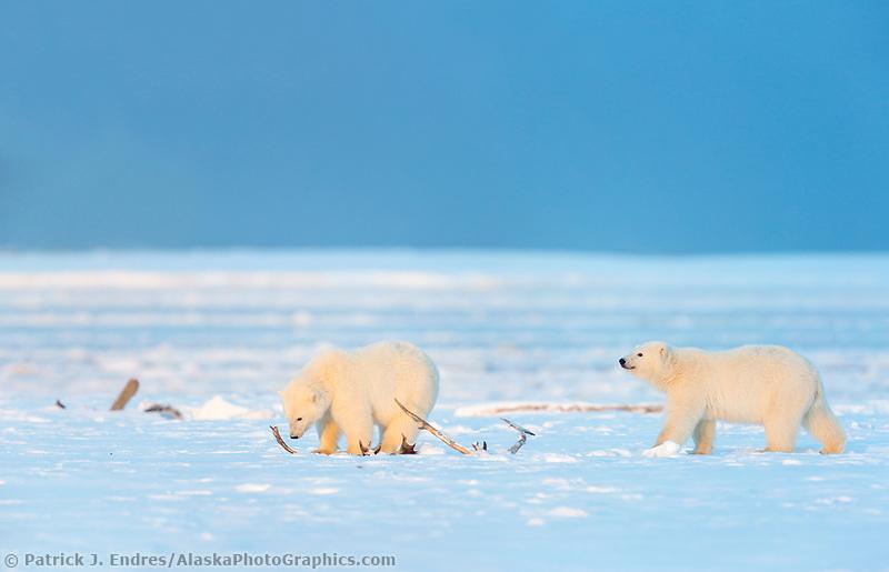 DIGITAL COMPOSITE: TWO IMAGES MERGED. Cubs and caribou antler, Barter, Island, Arctic National Wildlife Refuge, Alaska.