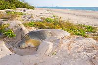 Australian flatback sea turtle, Natator depressus, female digging body pit of nest, Crab Island, off Cape York Peninsula, Torres Strait, Queensland, Australia