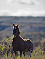 Wyoming Mustang Stallion