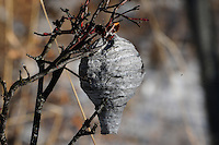 Abandoned wasp nest hanging in a tree in bush in winter looking a lot like a Christmas ornament