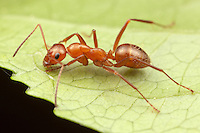 Ant (Formica dolosa) exploring a leaf, Ward Pound Ridge Reservation, Cross River, Westchester County, New York