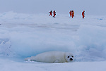 Harp Seal, and tourists, Iles de la Madeleine, Quebec, Canada