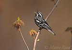 Black-and-white Warbler (Mniotilta varia), male singing, Dryden, New York, USA<br /> Slide # B161-2214